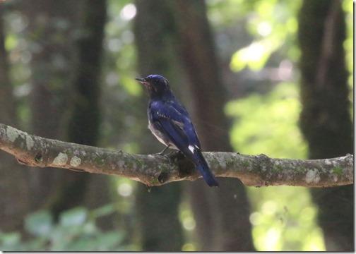 IMG_2419オオルリ幼鳥1