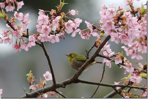 336A5631-1メジロ桜1
